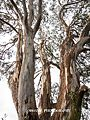 Eucalyptus tree in Mt. Annan, No.2.jpg