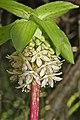 Eucomis bicolor (Hyacinthaceae) (5111509755).jpg