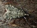 Eudonia truncicolella (39036457200).jpg