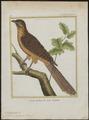 Eudynamys orientalis - 1700-1880 - Print - Iconographia Zoologica - Special Collections University of Amsterdam - UBA01 IZ18800287.tif