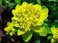 Euphorbia epithymoides 002.JPG