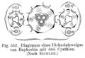 Euphorbia flowerdiagram.png