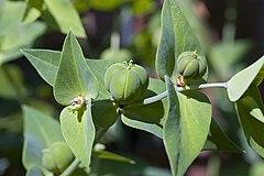 240px euphorbia lathyris