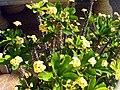 Euphorbia milii Plant TorreLaMata.jpg