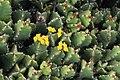 Euphorbia resinifera in Jardin de Cactus on Lanzarote, June 2013 (1).jpg