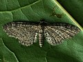 Eupithecia vulgata - Common pug - Цветочная пяденица простая (39141222060).jpg