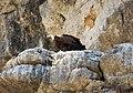 Eurasian Griffon Vultures. Gyps fulvus. (Spanish Buitre leonado) (25186031337).jpg