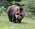 Europaeischer Braunbaer Ursus arctos arctos Tierpark Hellabrunn-2.jpg