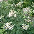 Eurybia macrophylla Aster macrophyllus BotGardBln07122011B.jpg