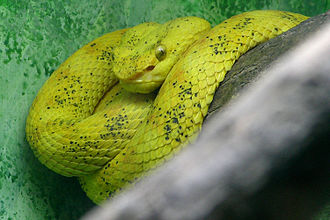 Bothriechis schlegelii - B. schlegelii at the Philadelphia Zoo.