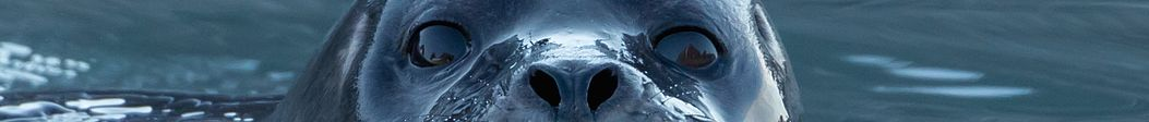 Eyes and nostrils of a harbor seal.jpg