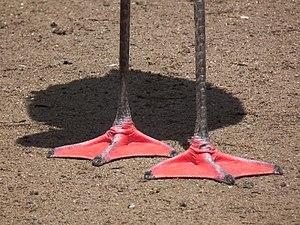 Bird feet and legs - Palmate feet – Chilean flamingo.