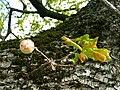 Fagales - Quercus robur - 005.jpg