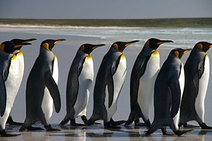 Falkland Islands Penguins 40.jpg