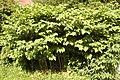 Fallopia japonica (1).jpg