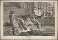 Felis pardus - 1700-1880 - Print - Iconographia Zoologica - Special Collections University of Amsterdam - UBA01 IZ22100240.tif