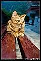 Felis silvestris catus (4981669338).jpg