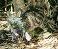 Feral Cat (5573630708).jpg
