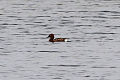 Ferruginous Duck (Aythya nyroca) (8079425543).jpg