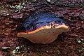 Fichtenporling Fomitopsis pinicola.jpg