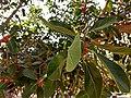 Ficus benghalensis near Thanjavur Railway Junction IMG 20180512 154955897 HDR.jpg