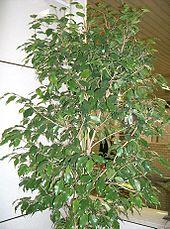 Zimmerpflanze wikipedia - Zimmerpflanzen arten ...