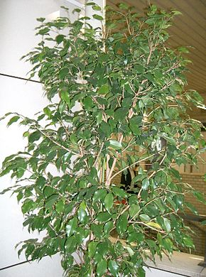 Description de l'image  Image:Ficus benjamina1.jpg .