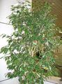 Ficus benjamina1.jpg