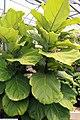 Ficus lyrata 8zz.jpg