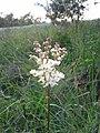 Filipendula vulgaris2.jpg
