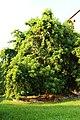 Fitolacca arborea-Campidoglio 01.jpg