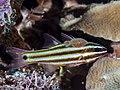 Five-lined cardinalfish (Cheilodipterus quinquelineatus) with parasite (Anilocra apogonae) (43419853031).jpg