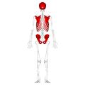 Flat bones - posterior view.png