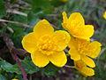 Fleur jaune en montagne.JPG