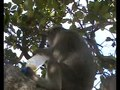 File:Flexibility-in-Food-Extraction-Techniques-in-Urban-Free-Ranging-Bonnet-Macaques-Macaca-radiata-pone.0085497.s007.ogv