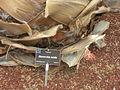 Flickr - brewbooks - Bismarckia nobilis (2).jpg