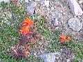 Flickr - brewbooks - Castilleja miniata Indian paintbrush Burroughs 1.jpg
