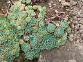 Flickr - brewbooks - Echeveria Crassulaceae (4).jpg