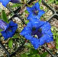 Flickr - brewbooks - Gentiana acaulis 'Krebs' (3).jpg