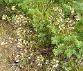 Flickr - brewbooks - Pedicularis racemosa.jpg