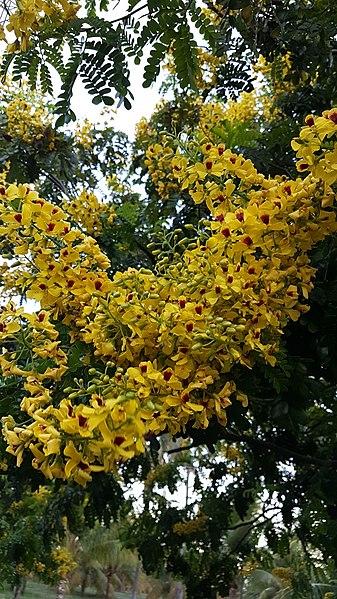 File:Flor do Pau-Brasil.jpg