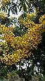 Flor do Pau-Brasil.jpg