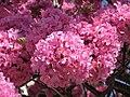 Flores de ipê rosa.jpg