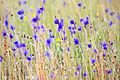 Flower field 01.jpg