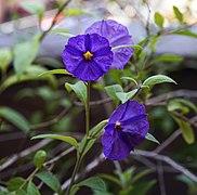 Flower of Solanum aviculare.jpg