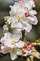 Flowers of Malus domestica (10).jpg