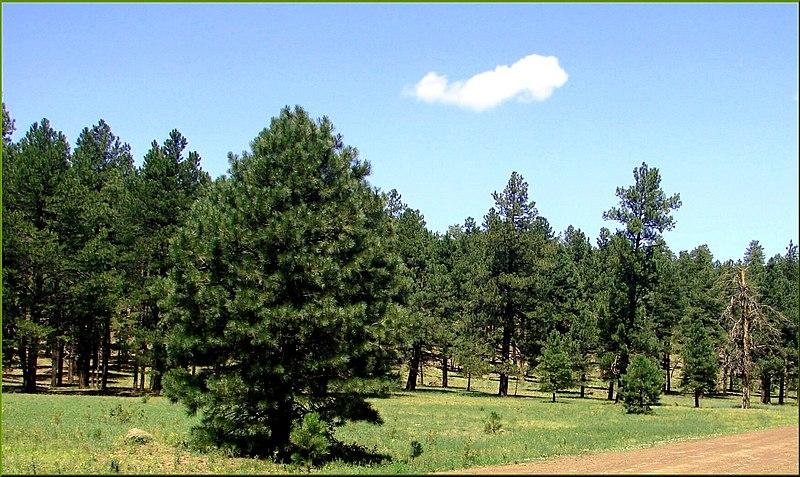 File:Forest, Oak Creek Canyon, AZ 7-30-13 (9511795218).jpg