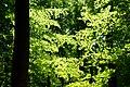 Forest Light (7442683158).jpg