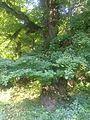 Forest near Kyrnasivka 3.jpg