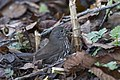 Fox sparrow mackerritcher park (14291047844).jpg